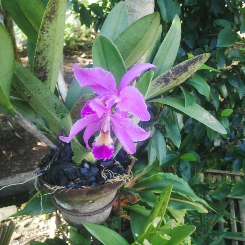 Cattleya obrazy royalty free