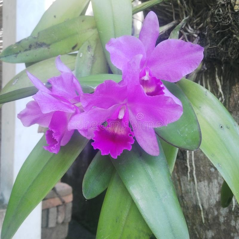 Cattleya zdjęcia stock