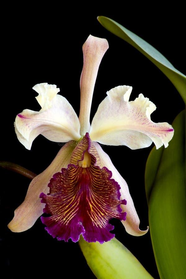 Cattleya dowiana orchid stock photography