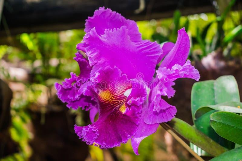 Cattleya hybrid purple orchid stock photography