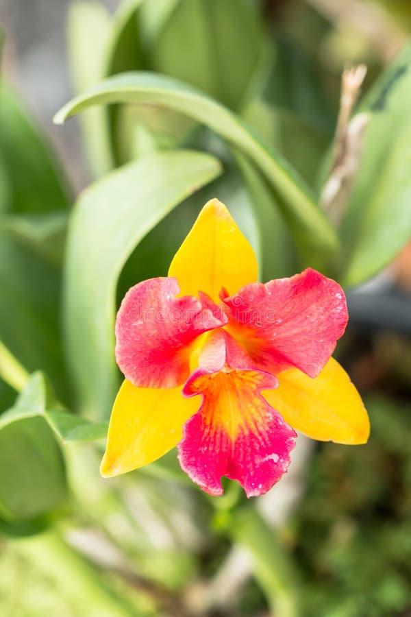 cattleya kwiatu storczykowy czerwony kolor żółty obrazy stock