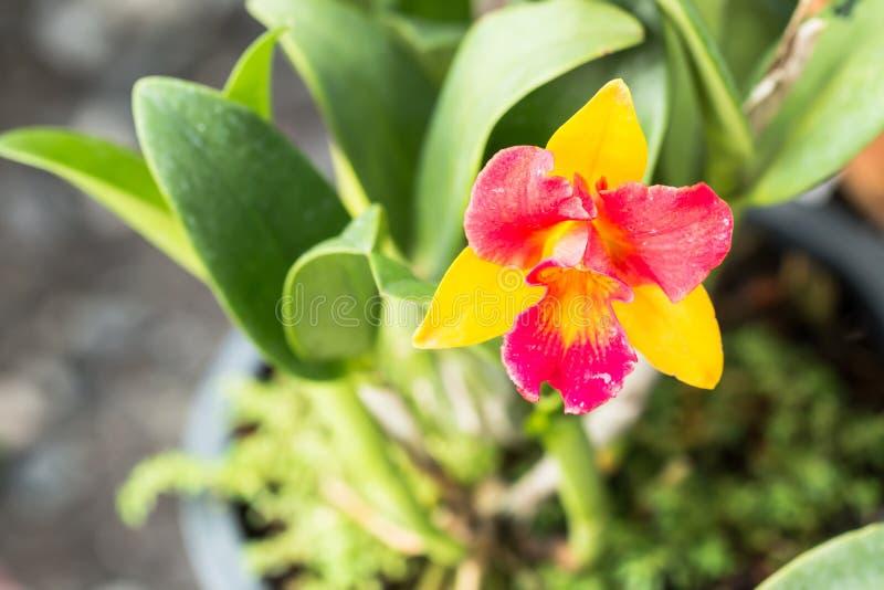 cattleya kwiatu storczykowy czerwony kolor żółty zdjęcie royalty free