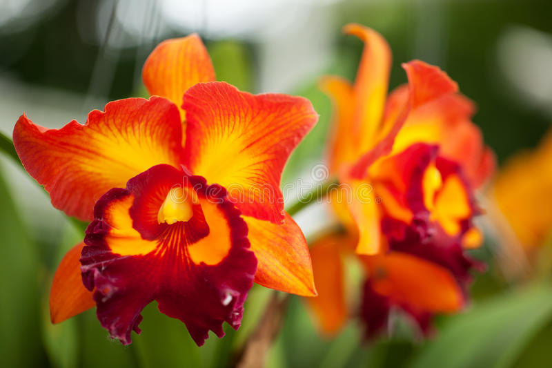 Cattleya orchidea obrazy stock