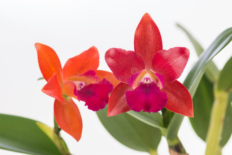 Cattleya orchids over white background royalty free stock photography