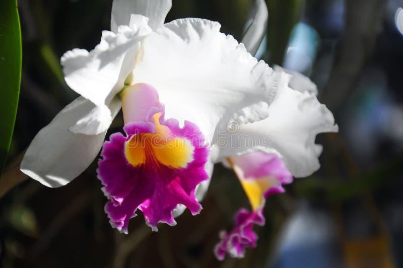 Cattleya orkidé i blom på den Chiangmai blommafestivalen 2019, Thailand fotografering för bildbyråer