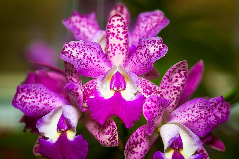 Cattleya Pink Jaguar - Orchid Hybrid. royalty free stock images