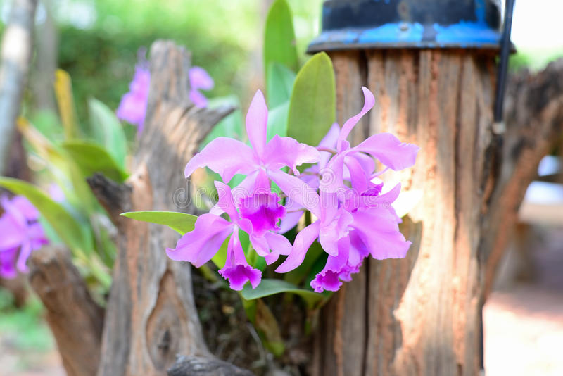 Cattleya pink orchid stock photography