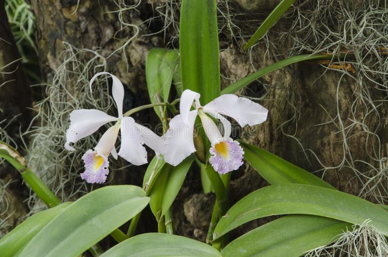 Cattleya schroederae, a tropical white, purple and yellow orchid stock images