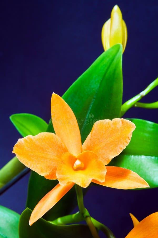 Cattleya sp. orchid hybrid, beautiful orange flower, green leaves on dark blue background, nature closeup macro. Photo royalty free stock images