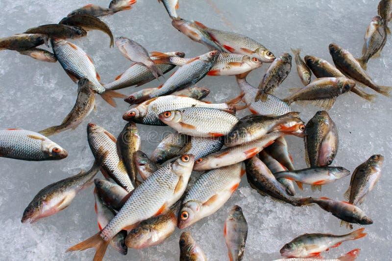 Cattura dei pesci fotografia stock