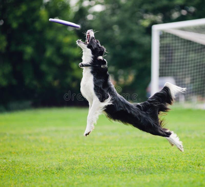 Cattura del cane del Frisbee immagini stock