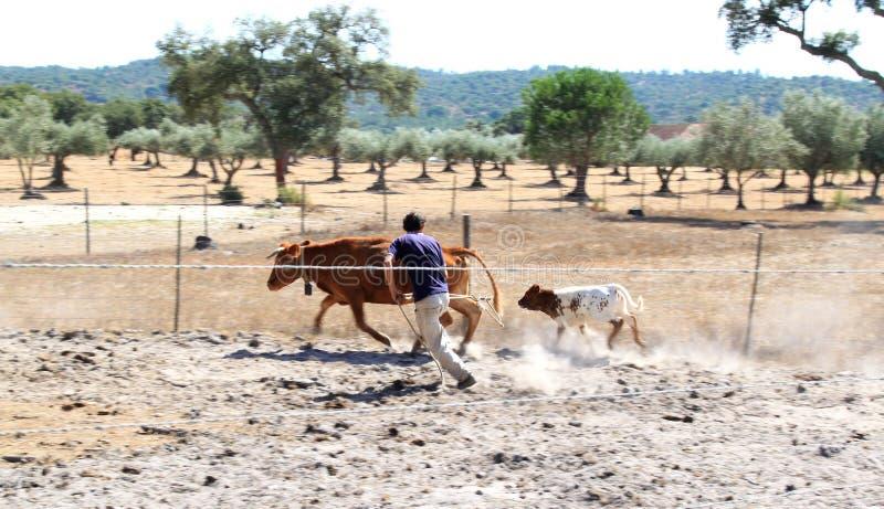 Cattura del vitello con il lariat in Alentejo portoghese immagini stock libere da diritti