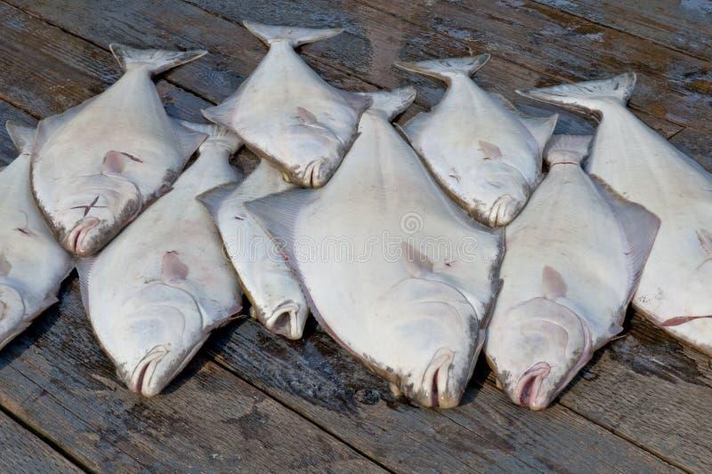 Cattura di halibut fotografia stock libera da diritti