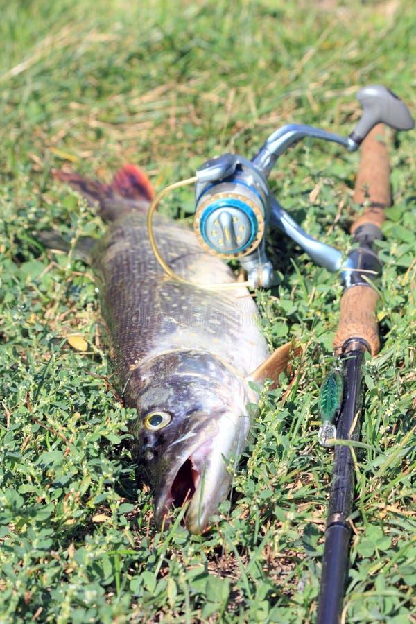 Cattura di pesca fotografie stock