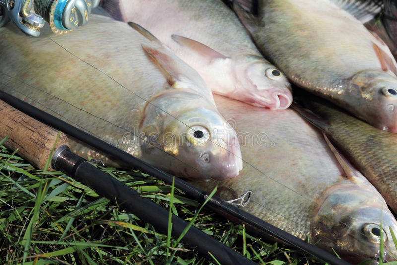 Cattura di pesca - abramide immagine stock libera da diritti