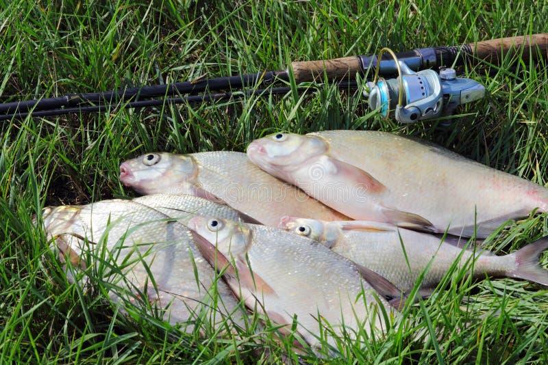 Cattura di pesca - abramide immagine stock