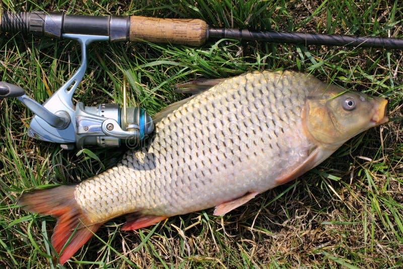 Cattura di pesca - carpa immagine stock libera da diritti