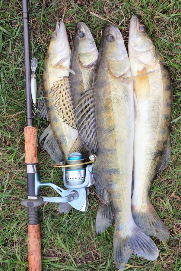 Cattura di pesca - zander immagini stock