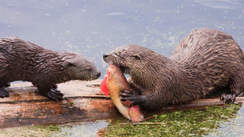 Cattura fresca, lontre di fiume che si alimentano sulla trota fotografia stock