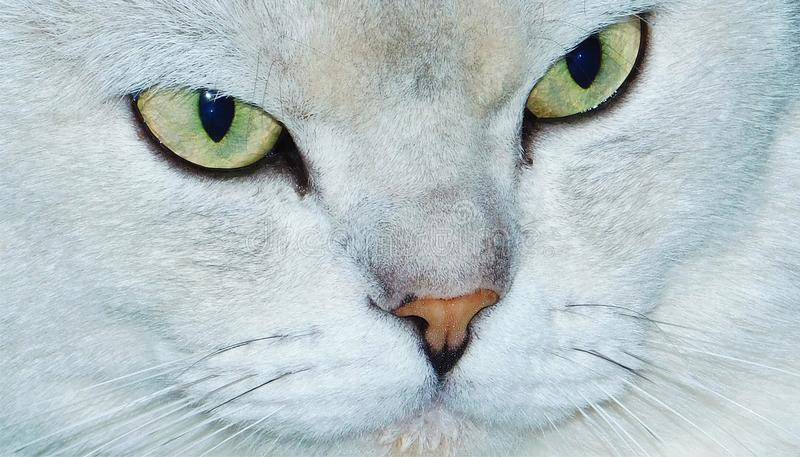 Download Catty Face stock photo. Image of burmilla, green, nose - 92593102