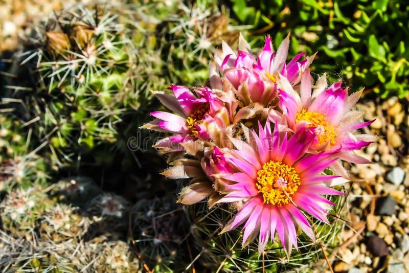 Catus blommor royaltyfri bild