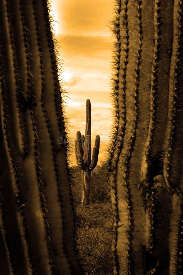 Catus Cacti in Arizona Desert. Detail cactus cacti in Arizona desert royalty free stock photography