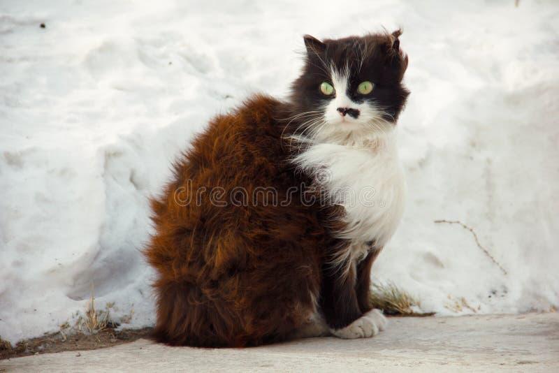 Caty сидит на предпосылке смещений снега, ветер трет его волосы Tailless черный кот с белым воротником и серьезным стоковое изображение