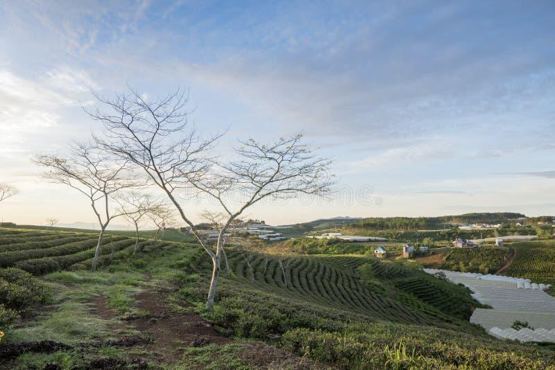 Cau Dat village, Da Lat city, Lam province, Vietnam. Cau Dat tea hill at dusk, Cau Dat village, Da Lat city, Lam province, Vietnam. With its year-round cool royalty free stock photo