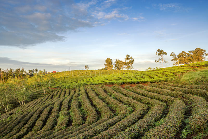 Cau Dat village, Da Lat city, Lam province, Vietnam. Cau Dat tea hill, Cau Dat village, Da Lat city, Lam province, Vietnam. With its year-round cool weather, Da royalty free stock photos