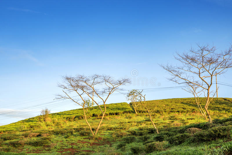 Cau Dat village, Da Lat city, Lam province, Vietnam. Cau Dat tea hill in the sun, Cau Dat village, Da Lat city, Lam province, Vietnam. With its year-round cool stock photography