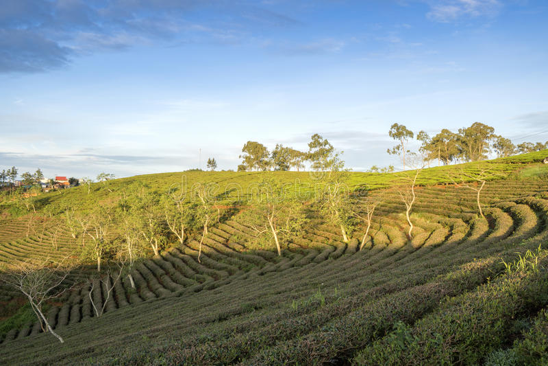 Cau Dat village, Da Lat city, Lam province, Vietnam. Cau Dat tea hill in the sunset, Cau Dat village, Da Lat city, Lam province, Vietnam. With its year-round royalty free stock photos