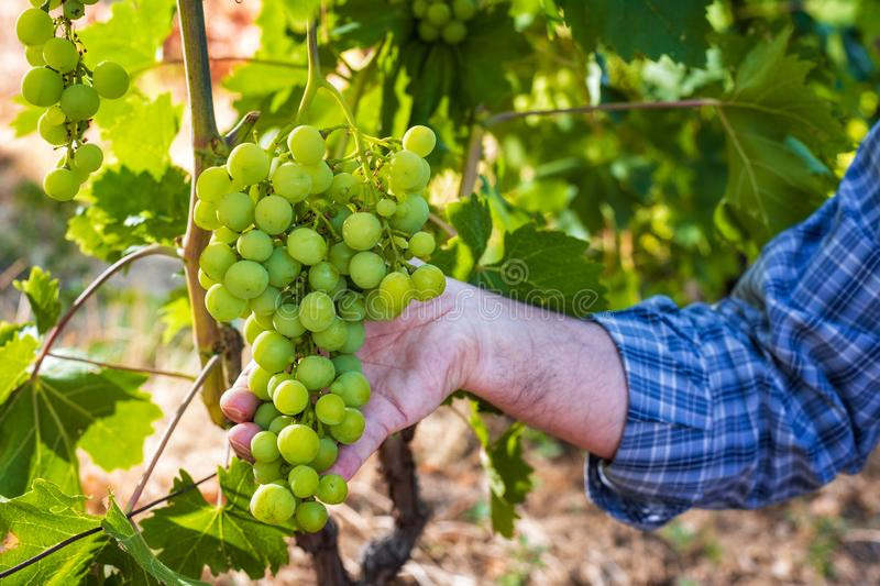 Caucasian Farmer at work in the vineyard. Close-up. Caucasian winegrower working in an organic vineyard, he holds a bunch of grapes still unripe in his hand stock photos