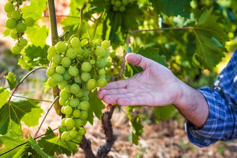 Caucasian Farmer at work in the vineyard. Close-up. Caucasian winegrower working in an organic vineyard, indicates with his hand a bunch of grapes still unripe royalty free stock photo