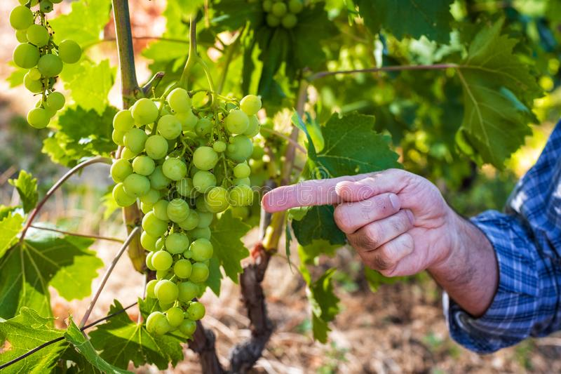 Caucasian Farmer at work in the vineyard. Close-up. Caucasian winegrower working in an organic vineyard, indicates with his hand a bunch of grapes still unripe royalty free stock photography