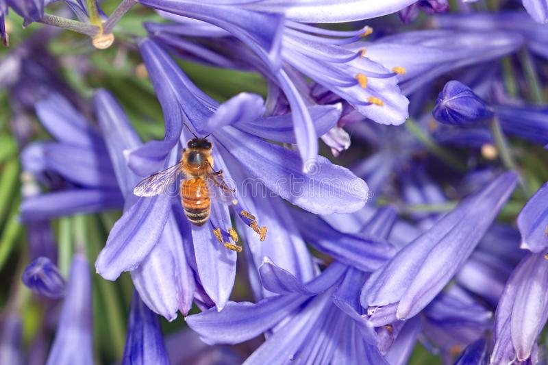 Honey bee on purple agapanthus flower. Caucasian honey bee apis on purple agapanthus flower gathering nectar and pollen royalty free stock photography