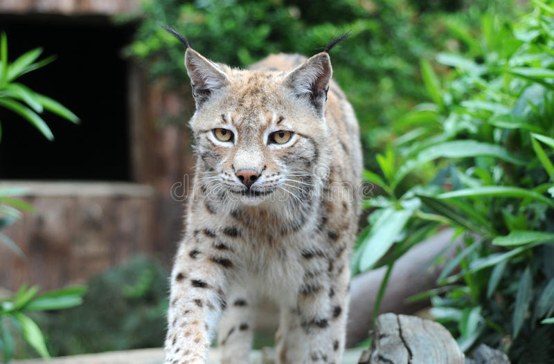 Download Caucasian Lynx Royalty Free Stock Images - Image: 27250149