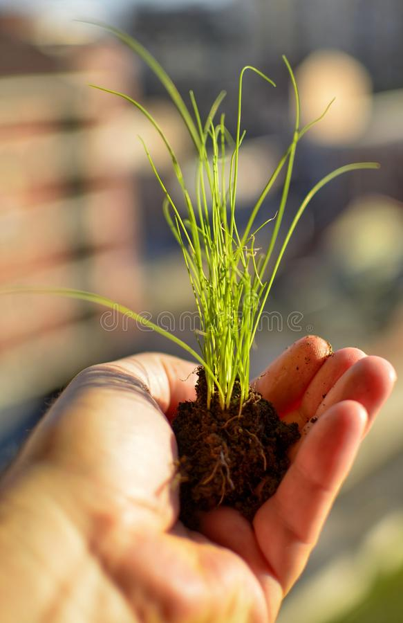 Caucasian man holds a clod of earth with a chive seedling. The hand of the Caucasian man holds a clod of earth with a chive seedling. Selective focus on the royalty free stock photography