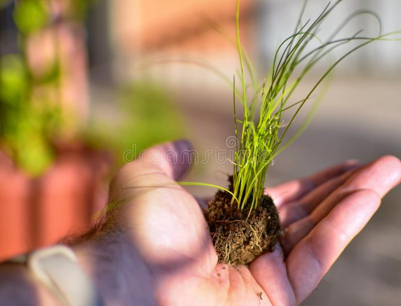 Caucasian man holds a clod of earth with a chive seedling. The hand of the Caucasian man holds a clod of earth with a chive seedling. Selective focus on the stock images