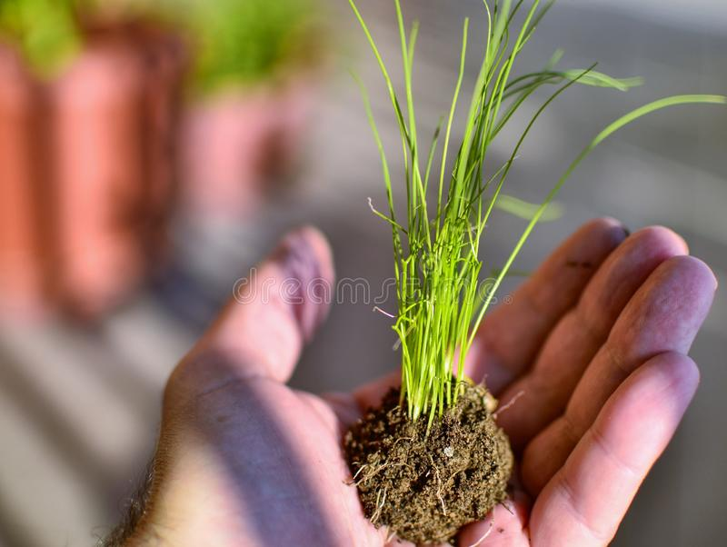 Caucasian man holds a clod of earth with a chive seedling. The hand of the Caucasian man holds a clod of earth with a chive seedling. Selective focus on the stock photography