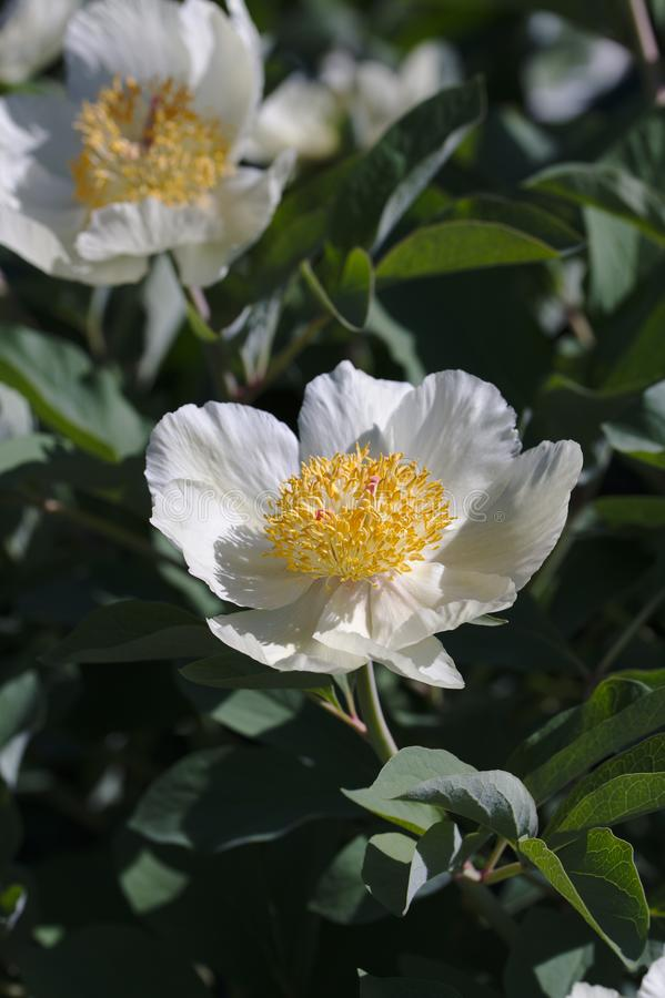 Caucasian peony blossom stock image