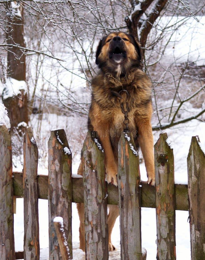 Caucasian sheep-dog stock photo