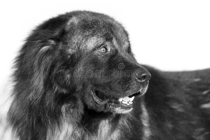 Caucasian Shepherd Dog Stock Photography