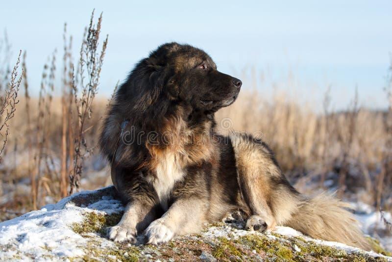 Download Caucasian Shepherd dog stock image. Image of field, autumn - 27654015