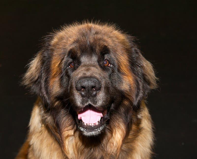 Caucasian shepherd dog. Beautiful Caucasian shepherd dog on the black background royalty free stock images