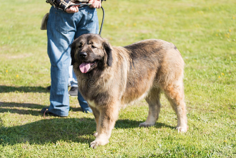 Caucasian Shepherd dog with owner royalty free stock photo