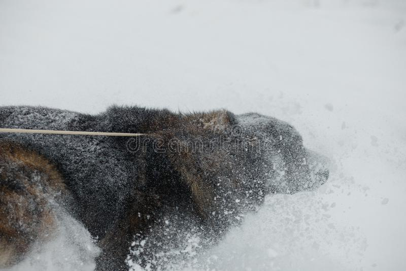Caucasian shepherd dog running on snow-covered field in frosty winter day.  stock photo