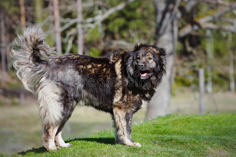 Caucasian shepherd dog standing outdoors royalty free stock images