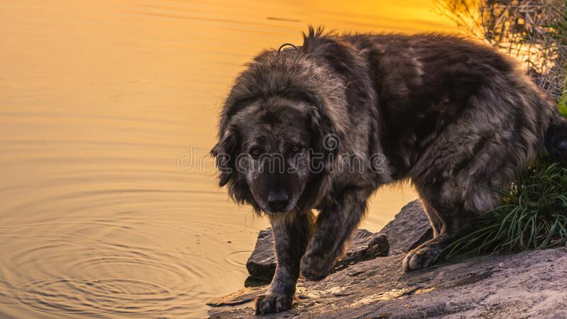 Caucasian shepherd dog while walking on a walk in cabbage grass at sunset. Caucasian shepherd dog while walking on a walk in green grass at summer sunset by the stock photos