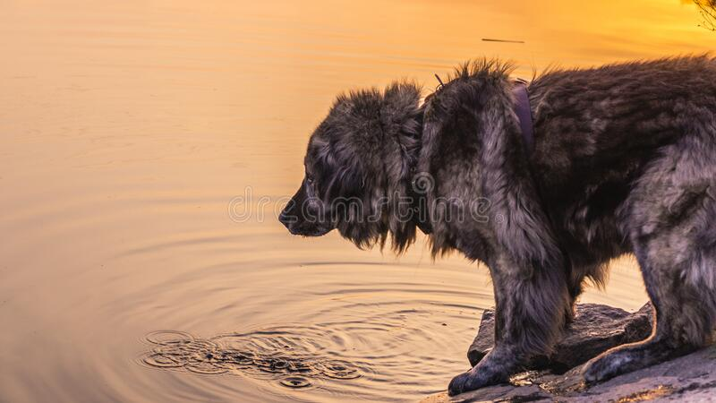 Caucasian shepherd dog while walking on a walk in cabbage grass at sunset. Caucasian shepherd dog while walking on a walk in green grass at summer sunset by the royalty free stock photography