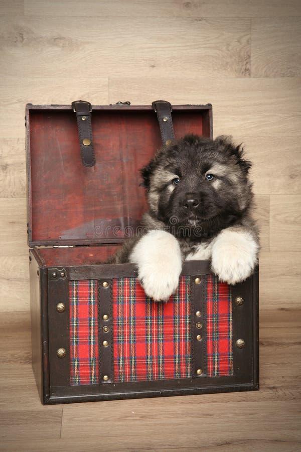 Free Caucasian Shepherd Puppy In Box Stock Photo - 92886590